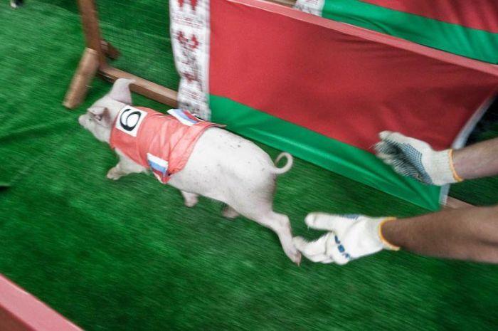 Pig Olympics Sprint Event