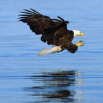 Bald Eagle Steals Fish From Fisherman - Norman Dreger