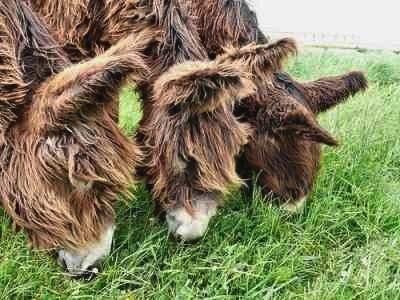 Baudet de Poitou donkey 1