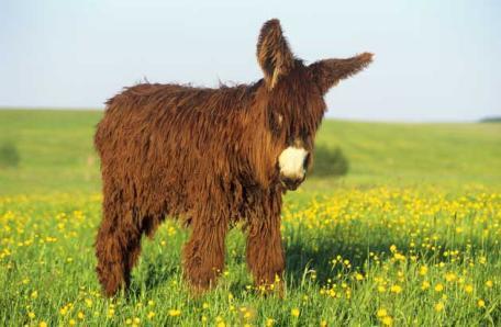 Baudet de Poitou donkey 2