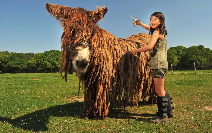 Baudet de Poitou donkey 3