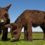 Baudet de Poitou donkeys - reintroduction