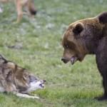 Bear Vs Wolf