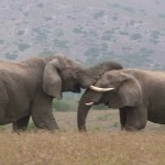 Bull Elephant Fight - Kruger