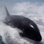 killer whale riding surf like dolphin wake