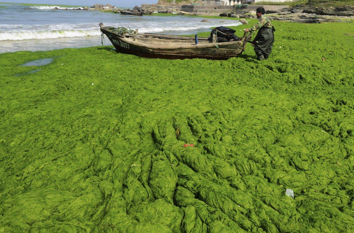 Incredible Algae Covered Beach In Qingdao China Lazer Horse