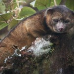 Olinguito – Brand New Species Of Mammal Discovered