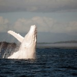 Rare Albino Humpback Whale – Migaloo – Looks Snazzy
