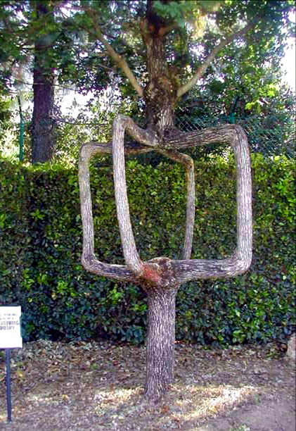 Arborsculpture tree square