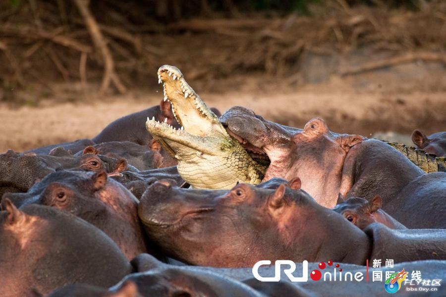 Crocodile vs alligator fight - photo#13