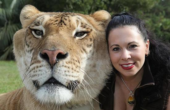 hercules liger huge head - Biggest Cat In The World Guinness 2013