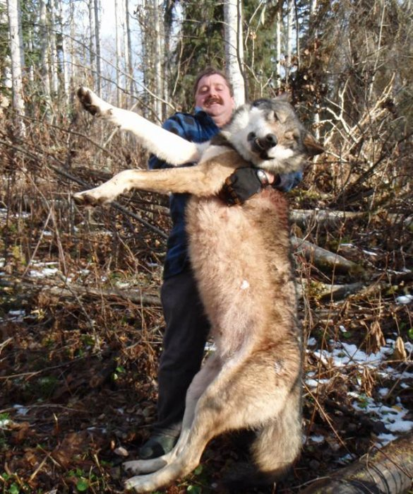 How Big Do Wolf Dogs Get