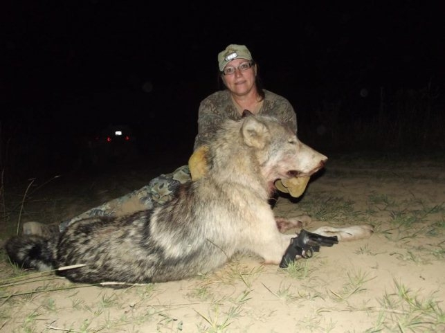 Huge Idaho Wolf