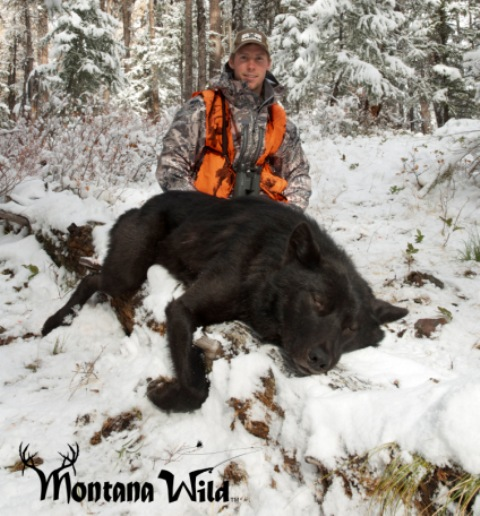 Massive Black Montana Wolf