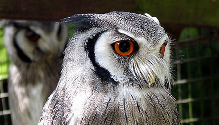Northern-White-Faced-Owl-Transformer-Owl-Video