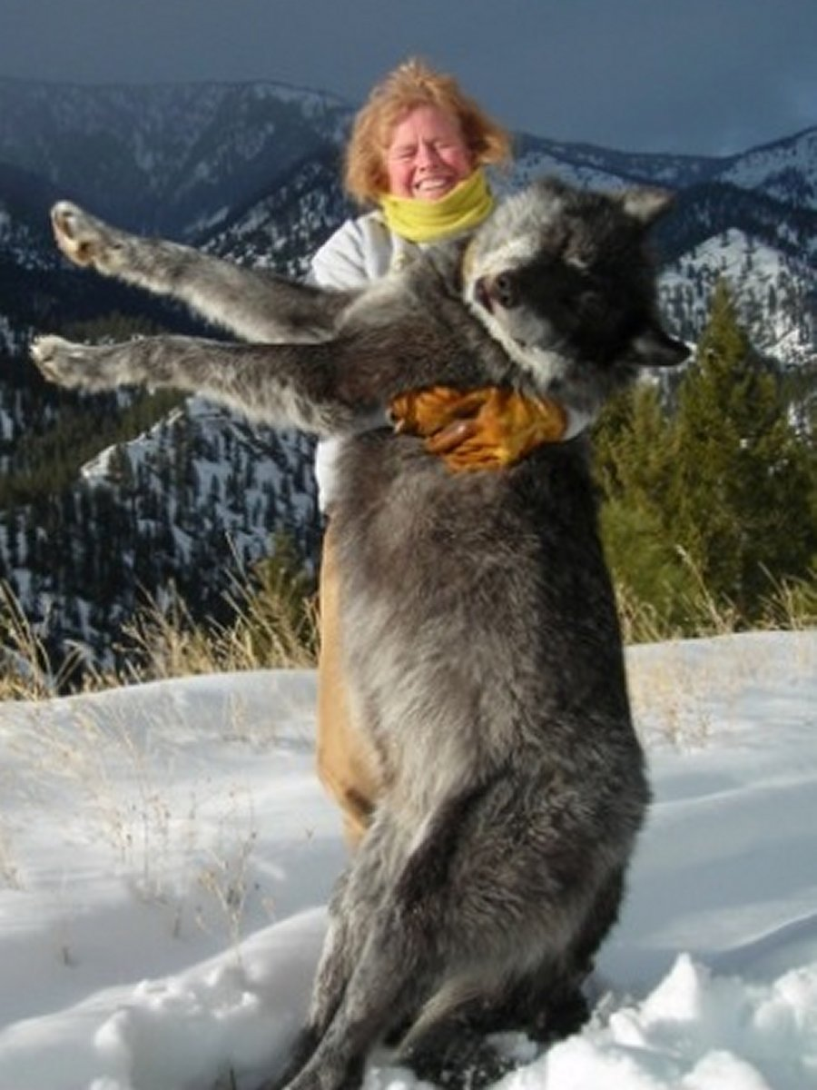 Picture of Biggest Wolf Ever