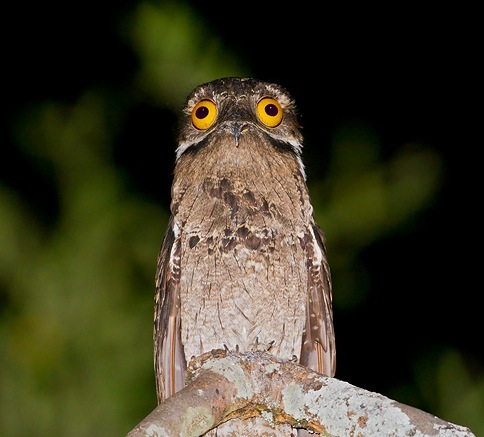 Moira A. Oaks ◈ In Justice I trust - Page 5 Potoo-weird-funny-bird-big-eyes-Gormless