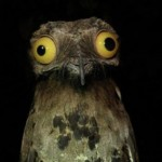 The Potoo – Nature's Most Surprised Looking Bird