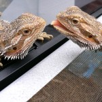 VIDEO: Lizards Waving To Each Other