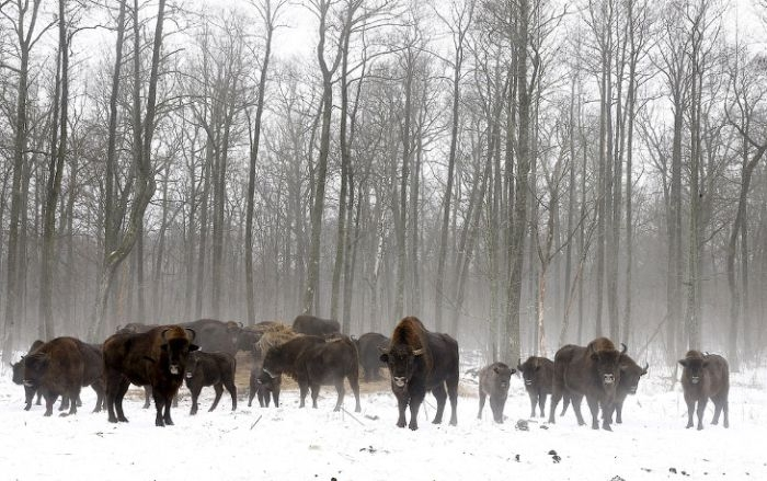 Animals of Chernobyl Bison