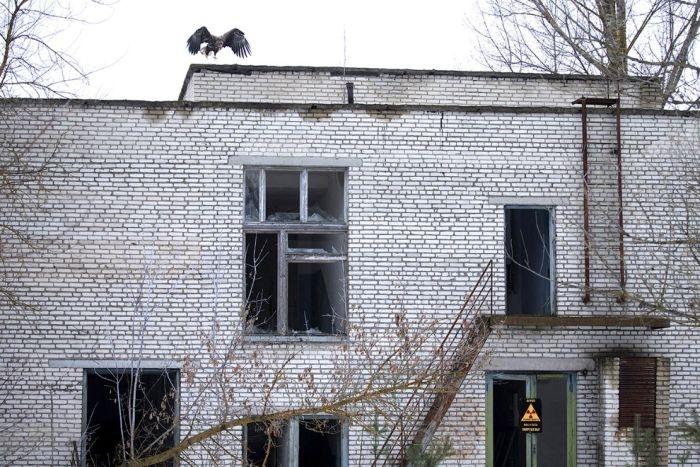 Animals of Chernobyl Eagle 2