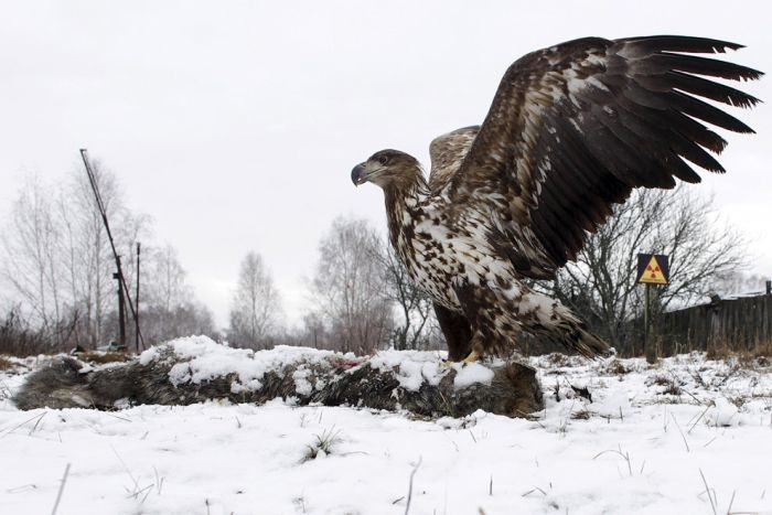 Animals of Chernobyl Eagle