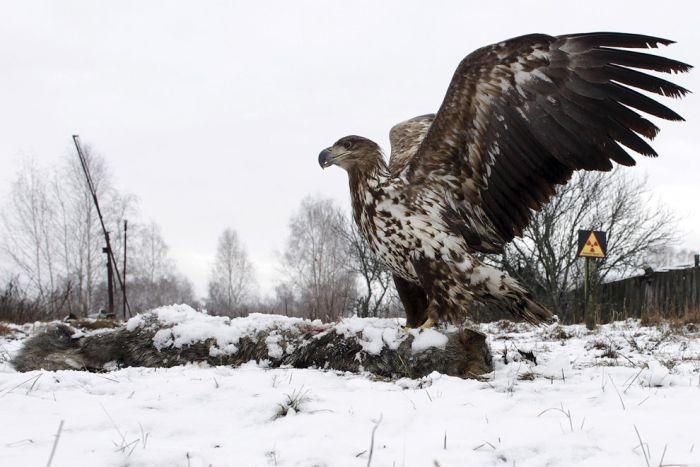 Animals of Chernobyl Eagle
