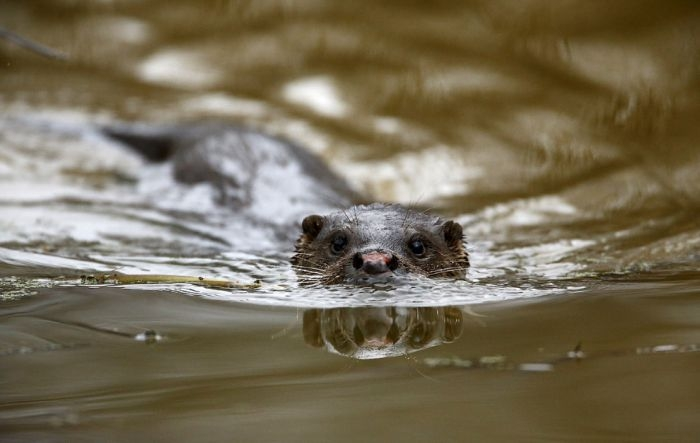 Animals of Chernobyl Otter