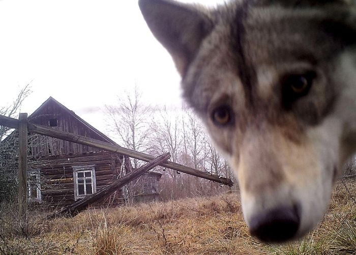 Animals of Chernobyl Wolf