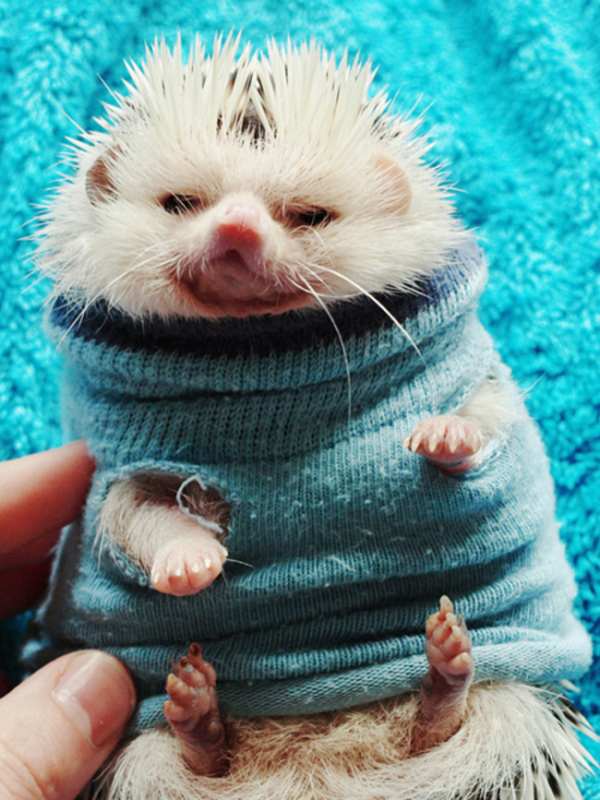 hedgehog-wearing-sweater