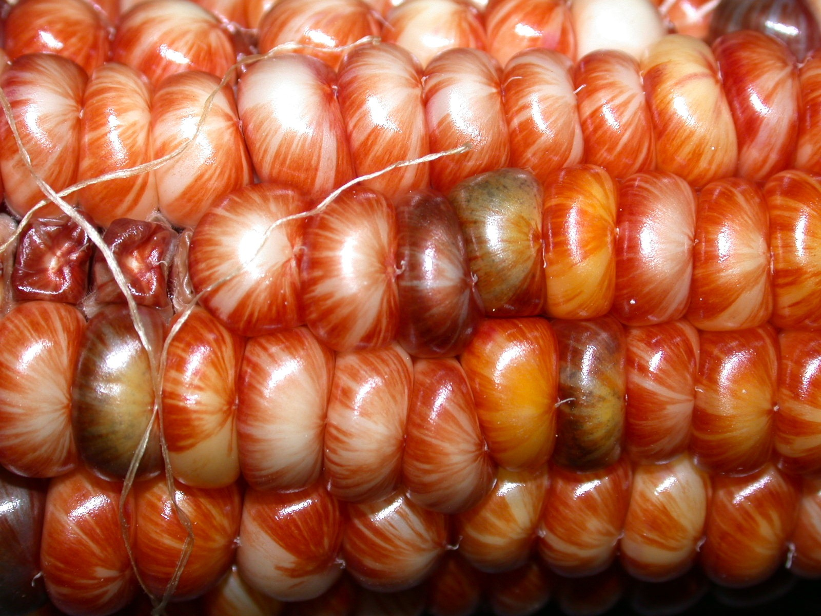 Glass Gem Corn - kernel colour heirloom