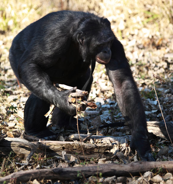 Kanzi gathering fire wood - chimp makes fire