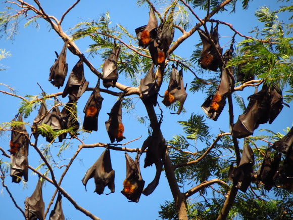 World's Biggest Bat: Giant Golden-Crowned Flying Fox • Lazer Horse