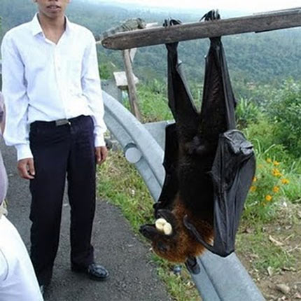 Giant Golden-Crowned Flying Fox - large
