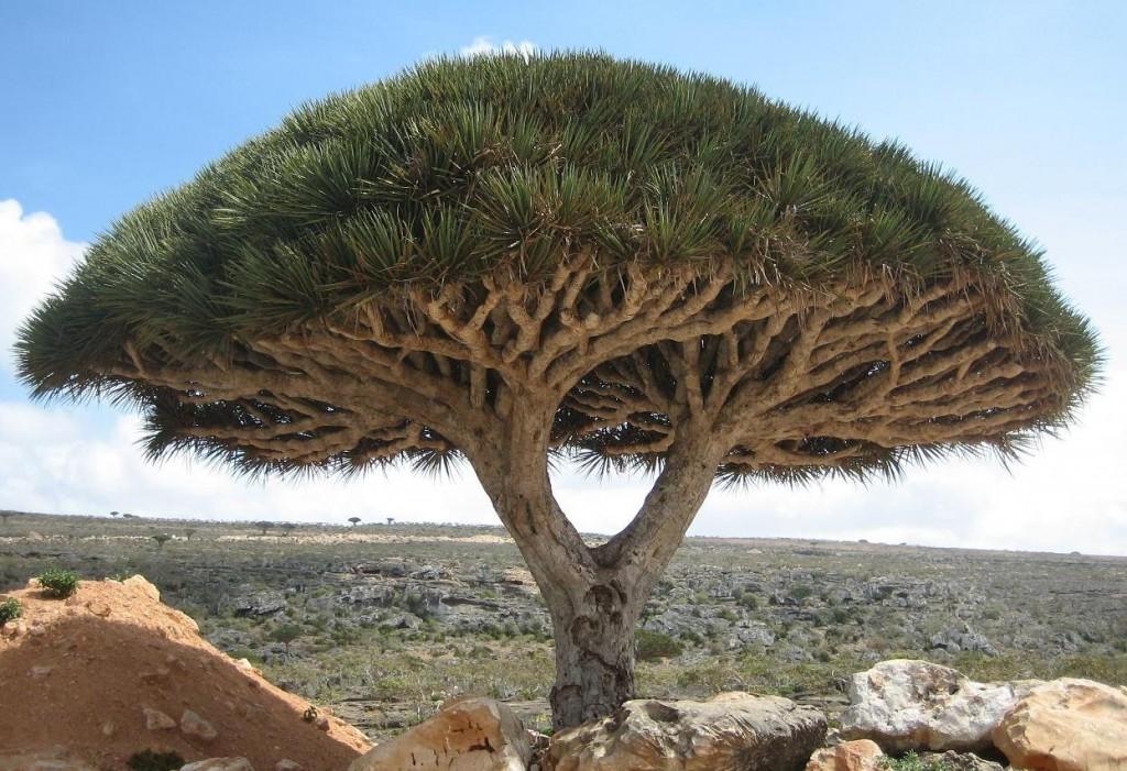 Socotra - alien landscape - Yemen - Dragon Tree