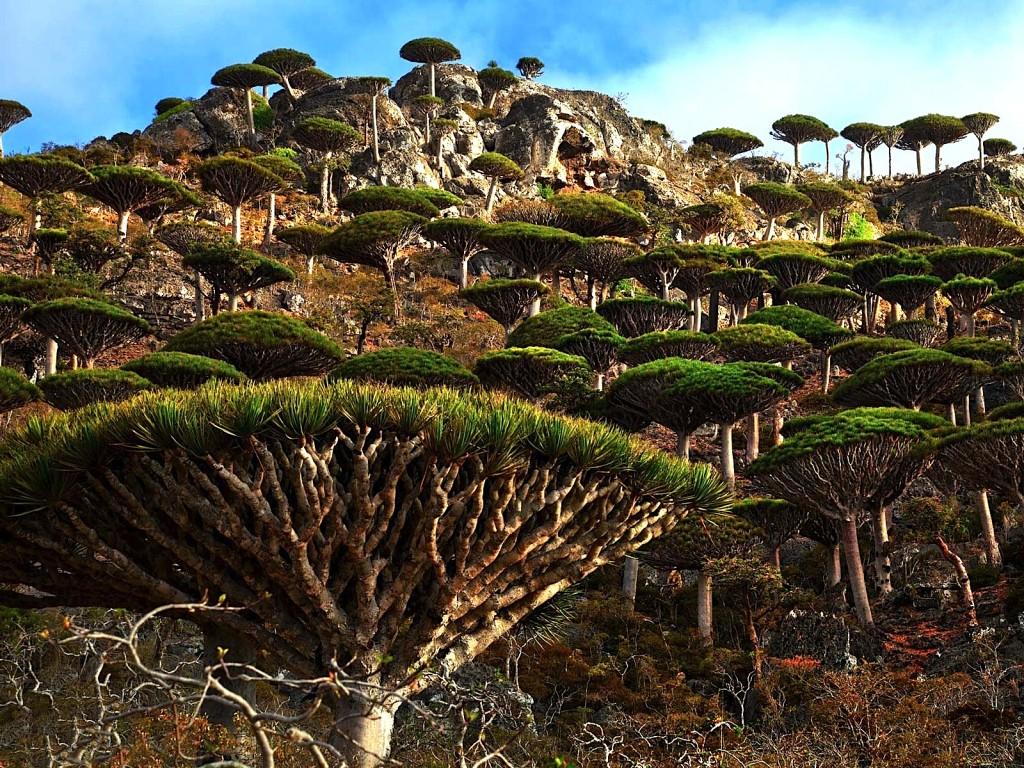 Socotra - alien landscape - Yemen - Dragons blood Tree