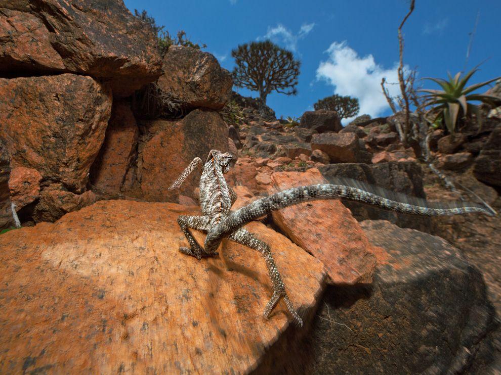Socotra - alien landscape - Yemen - chameleon