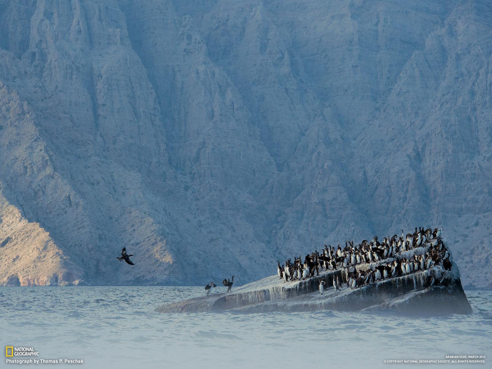socotra - juvenile socotra cormorants