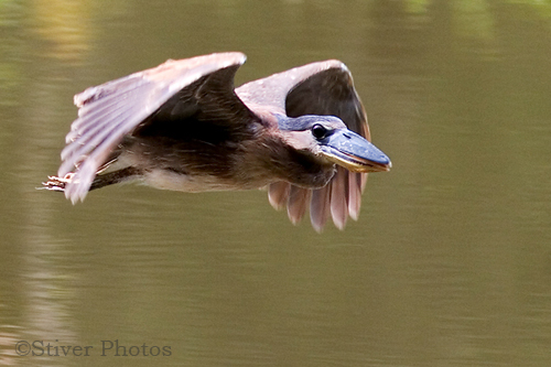 Birds Of Peru - Boat-billed Heron 2