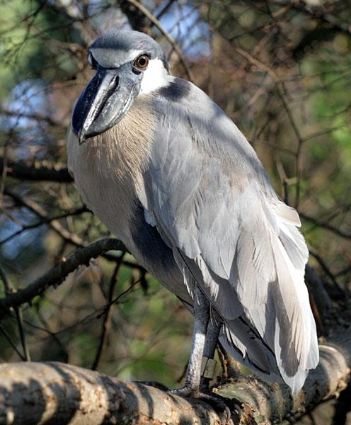 Birds Of Peru - Boat-billed Heron