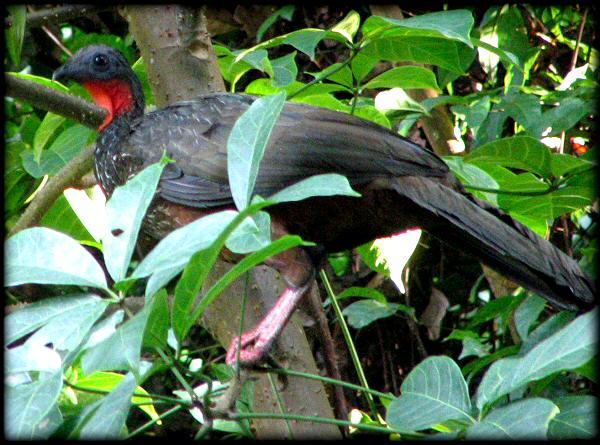 Birds Of Peru - Red-throated Caracara 2