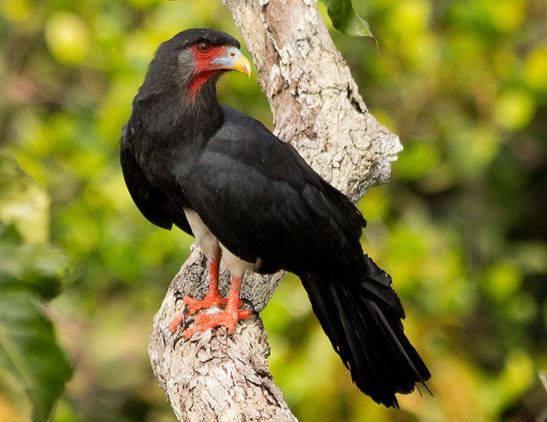 Birds Of Peru - Red-throated Caracara