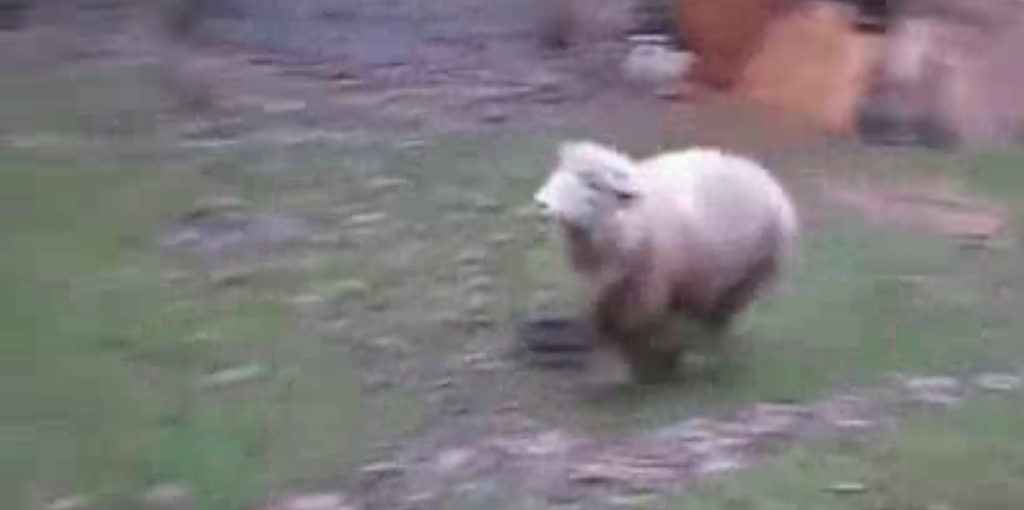 Sheep thinks it is dog