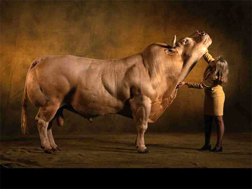 Belgian Blue Super Cow - with woman