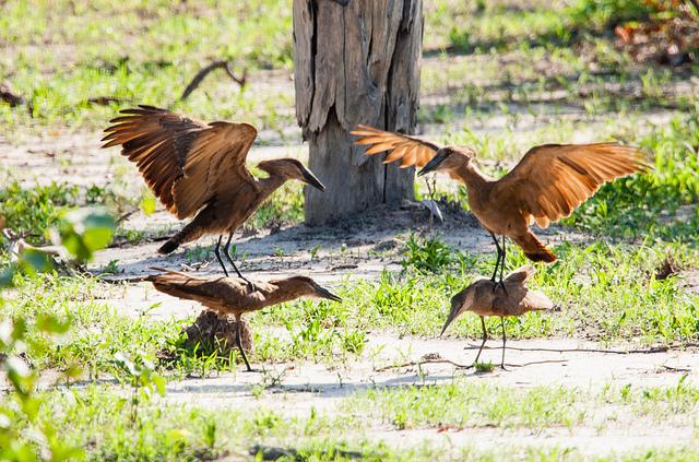 Mozambique Birds - Hamerkop ritual
