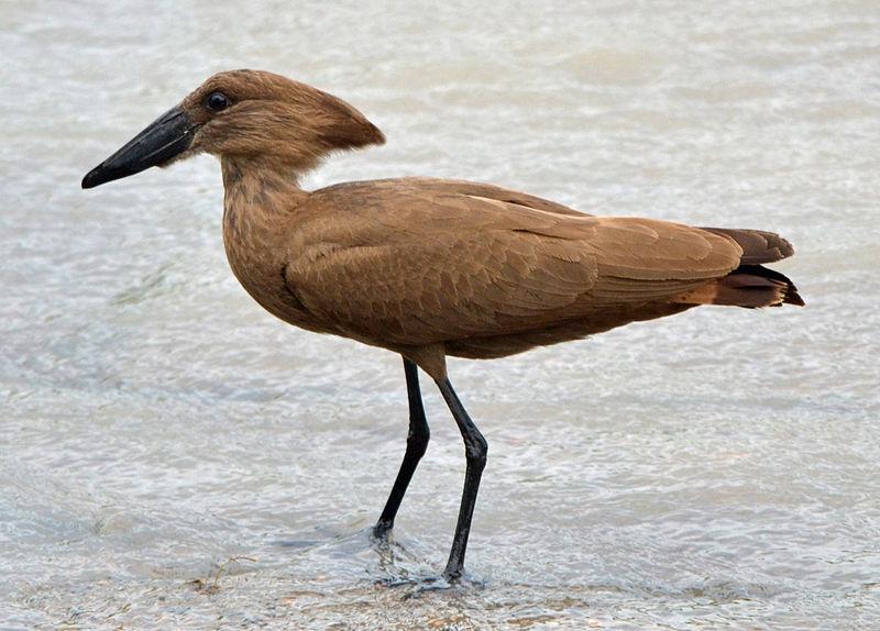 Mozambique Birds - Hamerkop