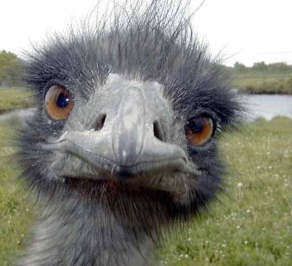Mozambique Birds - Ostrich Face