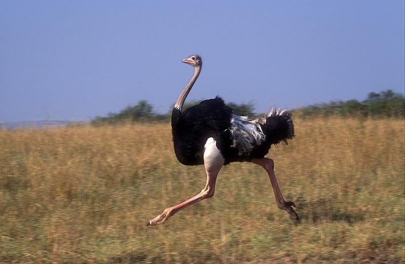 Mozambique Birds - Ostrich Running