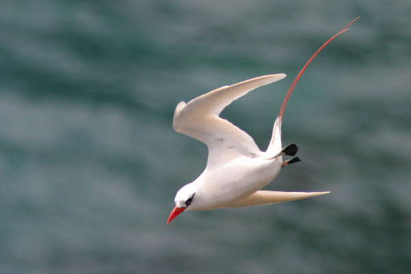 Mozambique Birds - Red-tailed Tropicbird 2