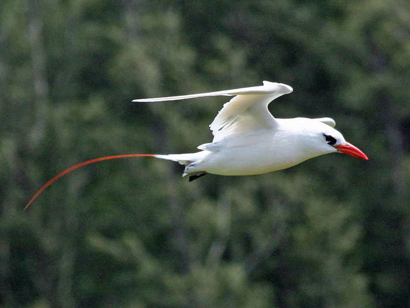 Mozambique Birds - Red-tailed Tropicbird